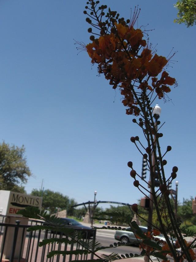 desert flowering bush