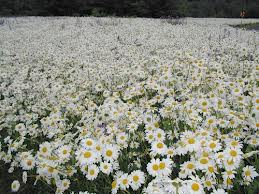 imagesField of Daisies