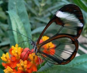 GlassWingedButterfly