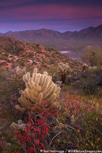 Wildflowers along Bartlett Lake, Tonto National Forest, near Phoenix, Arizona.